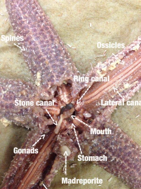 Starfish Dissection
